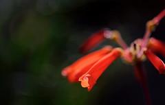 flower 1383 (kaifudo) Tags: sapporo hokkaido japan botanicalgarden flower sinningiainsularis hokkaidouniversity 札幌 北海道 北大植物園 温室 シンニンギア・インスラリス nikon d810 sigmaapomacro105mmf28 sigma 105mm macro