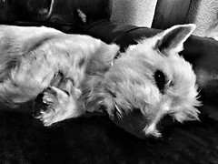 Samson in black and white (Artybee) Tags: woodhallspa lincolnshire cutelove sleepingdogs whiteterrier westhighland samson westie blackandwhite