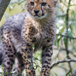 Another standing cheetah cub thumbnail
