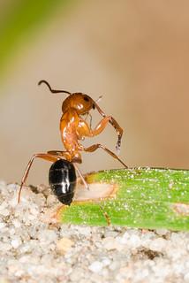 Camponotus decipiens, Carpenter Ant