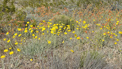 Spring Flowers (magnetic_red) Tags: flowers yellow salmon wild meadow desert nature spring blooms colorful goldbuttenationalmonument