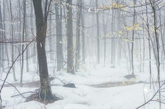The white forest (Jocelyne Deneau) Tags: forest trees woods snow mist fog landscapes winter outdoors quebec canada
