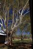 Gum Tree (pbr42) Tags: australia alicesprings northernterritory telegraphstation tree outdoor gumtree