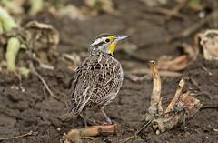 Western Meadow Lark (jerrygabby1) Tags: lark field spring