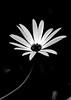 Flower head (Sohail-Siddique) Tags: blackandwhite whitepetals naturephotography fave gardening plant growing blooming flowerhead sohailsiddique mississauga photography