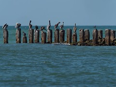 Pelican Olympics, podium finishers. (JKBfoto) Tags: florida beach sand sun blue birds concrete wall seawall pelicans pelican gulfofmexico gulf ocean