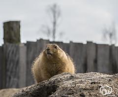 wildlands-emmen-16 (voorhammr) Tags: 2018 juul robin apen emmen giraffen ijsberen neushoorn nijlpaard pinquins prairiehonden vlinders wildlands zeeleeuwen zoo drenthe nederland nl