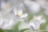 Spring Feeling (IngridVD. Photography) Tags: bosanemoon white flower ingridvandamme sfeer mood macro