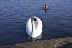 _DSC8193 (The Unofficial Photographer (CFB)) Tags: bushyparkroyalparks londonlife feathredfriends sunrise deardiarymar2018 swan swans featheredfriends