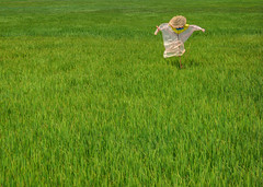 THE LONELY SCARECROW (PeterFord8) Tags: lonely scarecrow field spring summer raincoat hat conical rice paddy ricefield green grass minimal peterford8 conflictcreation photo photography hoi an hoian vietnam vietnamese