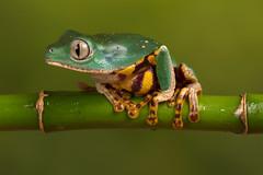 Super Tiger Leg Waxy Monkey Frog, CaptiveLight, Bournemouth, Dorset, UK