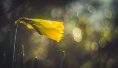 Daffodils (Dhina A) Tags: sony a7rii ilce7rm2 a7r2 daffodils carl zeiss jena pancolar 50mm f18 vintage bokeh blur carlzeissjenapancolar50mmf18 m42
