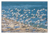 Sanderling flock (Joao de Barros) Tags: sanderling flock joão barros bird animal fly
