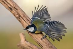 Kohlmeise / Great tit (@Thomas Neuber) Tags: greattit kohlmeise bird vogel backyard natur colorful