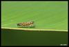 3915-Cigarrinha (Ana Gadini) Tags: canon macro novafriburgo brasil brazil canonef100mmlf28macrousm canonef100mml canonef100mmmacrousml canon100mmlf28macrousm canon100mmmacrol canon70d 70d canoneos anaclaudiafriburgo anaclaudiafotografias anaclaudia friburgo regiãoserrana serra montanha mountain riodejaneiro fotocartão cartão foto cart postal fotosàvenda vendadefotos vendadecartões fotográficos cartãopostal àvenda forsale presente present souvenir lembrança gift natureza nature insect inseto cigarrinha