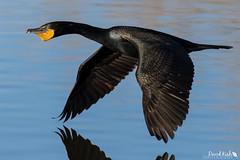 Cormorant Flyby (dekish1) Tags: cormorant 2v3a0579jpg lakewood colorado unitedstates us copyrightdavidkish2018 belmarpark canon7dmarkii canon100400mm