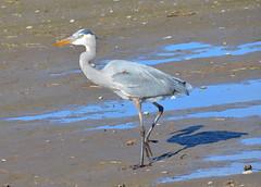 Just Me and My Shadow (Neal D) Tags: bc delta boundarybay bird heron greatblueheron ardeaherodias shadow