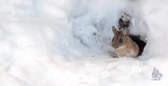 _DSC8586-1 (gupta.steve) Tags: gelbhalsmaus maus nagetier säugetier tier winter schnee wildlife animal nikon tamron makro fotografie nager