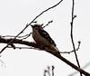 Downy Woodpecker (glenbodie) Tags: 201812 bodie dncb glen glenbodie stanleypark