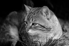 Marley (Aelys Lotta) Tags: cat cats chat chats black white noir et blanc pet domestic