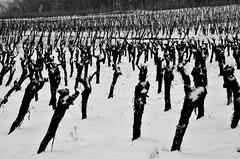 L' armée des ceps  -  The army of stocks (Philippe Haumesser Photographies (+ 6000 000 view)) Tags: stocks vineyards vineyard vine vines noiretblanc blackandwhite nikond7000 nikon d7000 reflex 2018 brume mist neige snow hiver winter