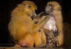 Mums Pamper Time. (Paul A Wiles) Tags: baboon mother baby yorkshirewildlifepark pwiles1968