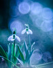 Silence beauty (Tomo M) Tags: snowdrop bubblebokeh bokeh bright light white spring two outdoor nature plant throughherlens
