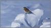 HornedLark2_6D_2123 (CrzyCnuk) Tags: hornedlark calgary alberta canon canon6d wildlife lark