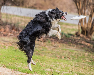 Catch - Border Collie Frisbee II