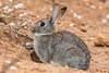 Conejo común  (Oryctolagus cuniculus) (antoniocarrion) Tags: conejo carmona andalucía españa