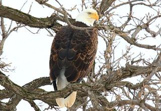bald eagle near Ridgeway IA 854A4372