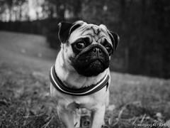 Baron 34ww (wketsch) Tags: graz pet forest nature dog mood pug pup leechwald sunrise animal monochrome bw