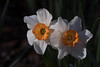 Spring delight (Irina1010) Tags: daffodils flowers double two light shadows spring delightful 2018 nature canon ngc coth5 npc