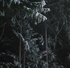 Forest (Zeb Andrews) Tags: fuji400h hasselblad500c oregon mthood cooperspur film mediumformat zaahphoto treest pacificnorthwest nikoncoolscan9000 scannedatbluemooncamera