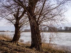 Baumberg am Rhein II (KL57Foto) Tags: 2018 baumberg fluss germany gewässer jahreszeitenundwetter kl57foto landschaften march monheimbaumberg märz nrw natur nordrheinwestfalen olympus penemp2 rhein rhine river winter