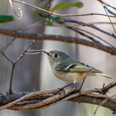Ruby-crowned Kinglet, Lake Conestee, SC (hmthelords) Tags: lakeconestee