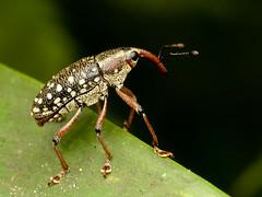 Cholus sp., Curculionidae (Eerika Schulz) Tags: cholus curculionidae käfer weevil rüsselkäfer puyo ecuador eerika schulz