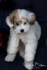 Coton de Tulear Puppy-921557 (jbalfus) Tags: puppy sonya9 sei90m28g cotondetulear dogbreed sonya9mirrorless sonyalpha sonyilce9 fullframe sel90m28g 90mm 90mmf28macrogoss primelens macro
