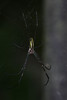 DSC_1059 (Hachimaki123) Tags: 動物 虫 animal 日本 japan spider arachnid arácnido araña クモ