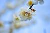 梅(DSC_9256) (nans0410(busy)) Tags: japan okayamaprefecture plumflower bokeh spring 日本 岡山市 梅花 散景