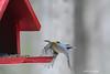 Red-breasted Nuthatch (Trevdog67) Tags: redbreasted nuthatch redbreastednuthatch bird birding nature takeoff freezeframe mapletonpark parcmapleton moncton newbrunswick nouveaubrunswick nb411 explorenb flight nikon d7500 sigma 150600mm 14x teleconverter