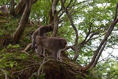 嵐山モンキーパークいわたやま - Arashiyama Monkey Park Iwatayama (Hachimaki123) Tags: 日本 japan 京都 kyoto macacafuscata 動物 さる 猿 animal monkey mono 嵐山モンキーパークいわたやま 嵐山 arashiyamamonkeyparkiwatayama arashiyama macacojaponés macaco