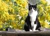 les chats aiment le mimosa (b.four) Tags: chat gatto cat mimosa saintlaurentduvar alpesmaritimes coth5
