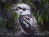kooka klose (grannie annie taggs) Tags: kookaburra closeup coth coth5 ngc
