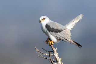 White-tailed Kite with vole (X81_3646-1)
