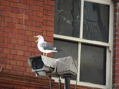 Herring Gull, The Hayes, Cardiff 10 March 2018 (Cold War Warrior) Tags: herringgull larusargentatus cctv cardiff