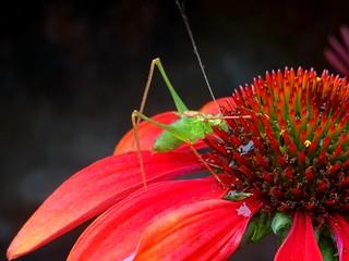 Grasshopper on Echinacea