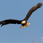 Bald Eagle hunts and catches - 5 of 15 thumbnail