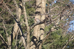 272/365/3559 (March 10, 2018) - Common Flicker Pictures from March 2018 (Saline Michigan)
