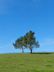 Lonely Trees I (marco_albcs) Tags: sintra cascais portugal europe europa rural farm sheep ovelha ovelhas parque natural naturel park farming animals smooth silk sky blue bluesky minimal